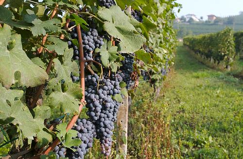 Nebbiolo 葡萄