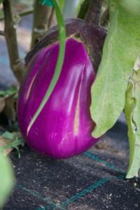 圆形的品种的茄子