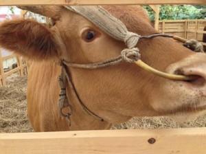 参加亚洲—大洋洲美味大会上展览的牛