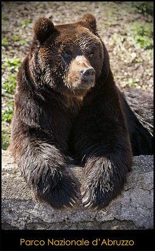 棕熊 在 Parco Nazionale d'Abruzzo by Fspugna