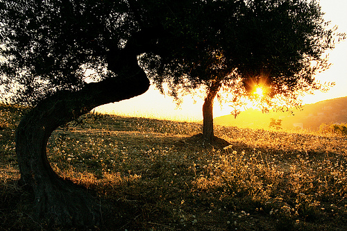 橄榄树  by Duegnazio