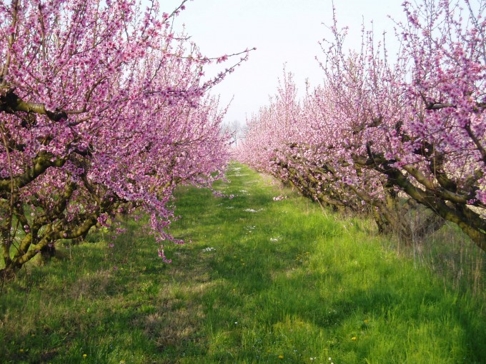 Forli Cesena的桃树,Ilpassatore拍摄