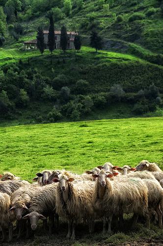 羊群,Carlo Tardani拍摄
