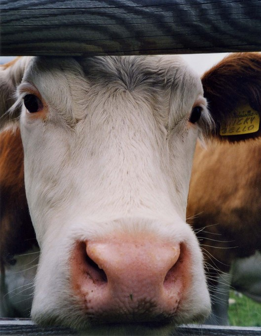 牛,Antonello Tanteri拍摄