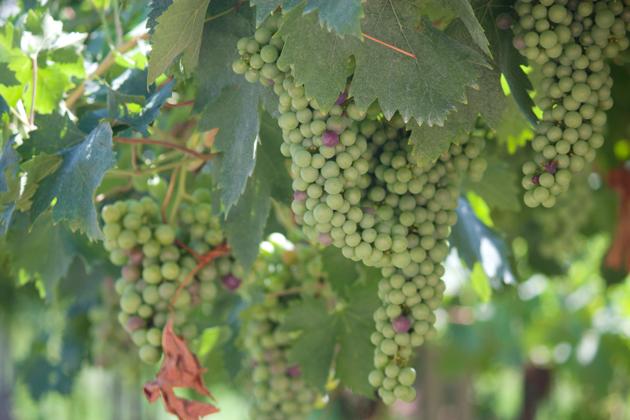 Valpolicella的葡萄