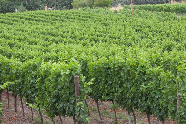 Incrocio ManzoniI的葡萄园