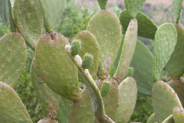 长了果实的仙人掌