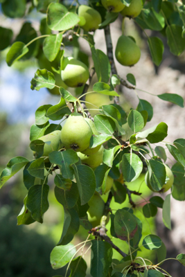 早餐时直接从树上摘下来供应的梨