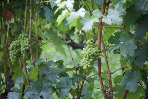 CHARDONNAY葡萄