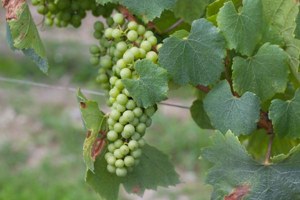 注定用来制作气泡酒的Bellavista葡萄