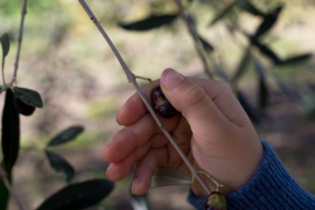 我儿子摘橄榄