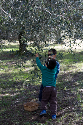 兄弟俩在摘橄榄