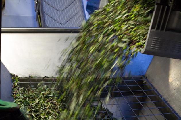 将橄榄倒入去掉叶子的机器