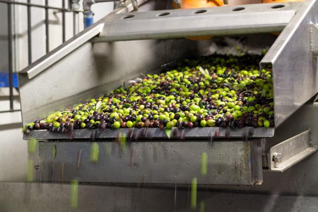洗净的橄榄转移到磨碎机