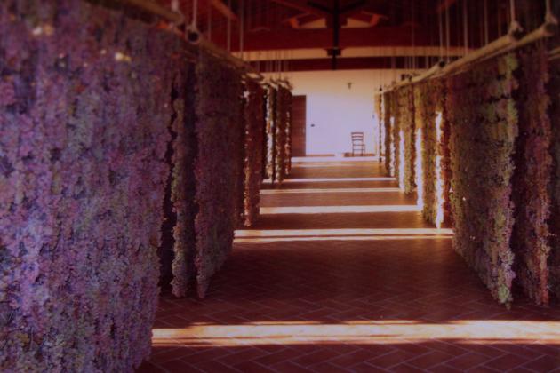 悬挂晒干的葡萄