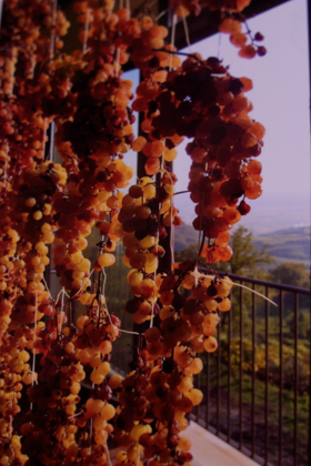 等待晒干的葡萄