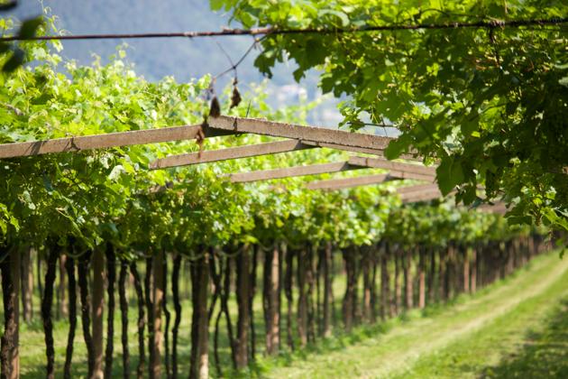 藤架风格种植的葡萄藤