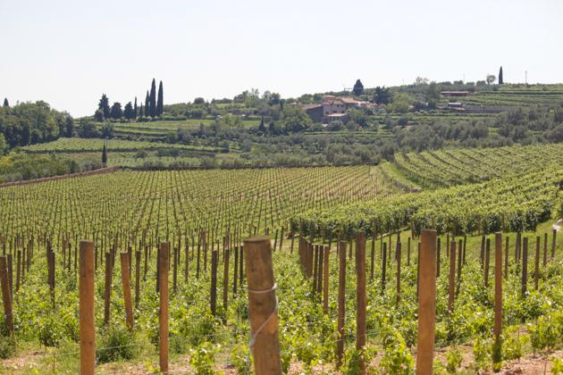 围绕着VILLA DELLA TORRE的ALLEGRINI葡萄园