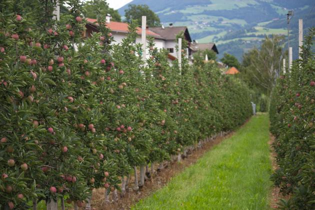 交织的苹果树
