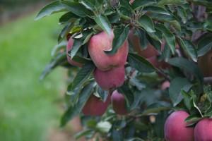 ALTO ADIGE苹果
