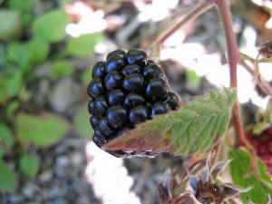 黑莓,Kingsbrae Garden拍摄