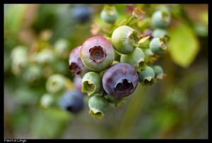 蓝莓,Fabrizio Longhi拍摄