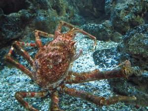 蜘蛛蟹,Swimfinfan拍摄