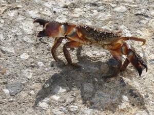 黄色食草蟹,Narice28拍摄