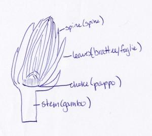 洋蓟解剖图