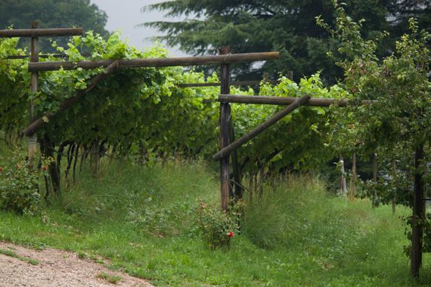 比较老的藤架法种植的葡萄藤