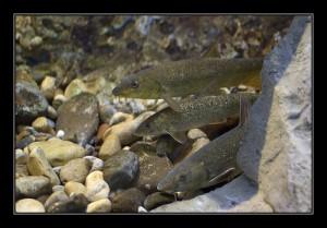 鲃鱼,Lorenzo Andrioli拍摄