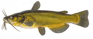 黑大头鲶鱼,Wisconsin Department of Natural Resources拍摄