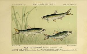 欧白鱼,生物多样性遗产图书馆(Biodiversity Heritage Library)拍摄欧白鱼,生物多样性遗产图书馆(Biodiversity Heritage Library)拍摄