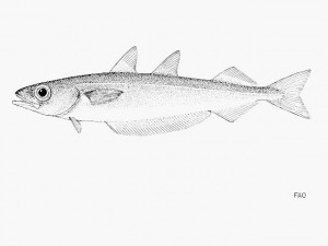 蓝海鳕,FishBase拍摄