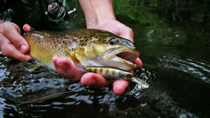 棕色鳟鱼,Michael Meiters拍摄