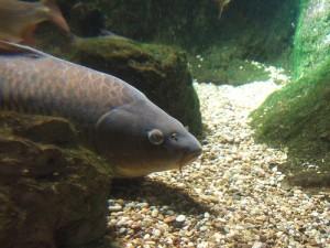 鲤鱼, Lebatihem拍摄