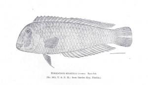 劈刀濑鱼,Freshwater and Marine Image Bank拍摄