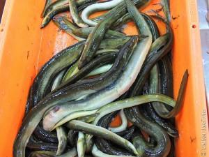 鳗鱼,Valter Jacinto拍摄