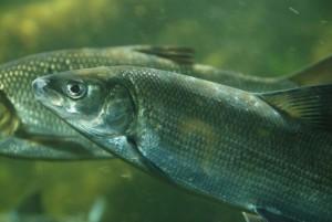 欧洲白鲑, Biopix拍摄
