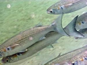 扁头鲻鱼by Crabby Taxonomist