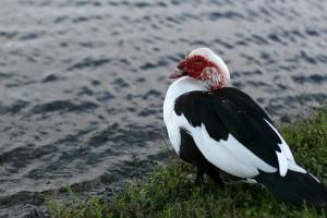 美洲家鸭,Abby Rosenberg拍摄