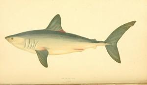 大西洋鲭鲨,Biodiversity Heritage Library拍摄