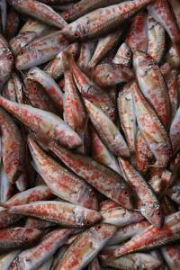 红体鲻鱼,Abigail Powell拍摄
