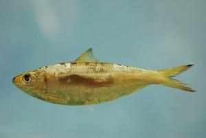 圆小沙丁鱼,NOAA Photo Library拍摄