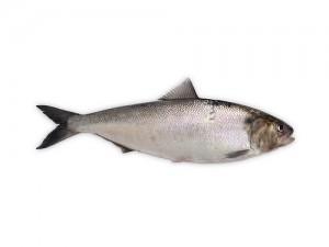 鲱鱼,Fernando Coello Vicente拍摄