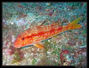 条纹红鲻鱼,Christophe Quintin拍摄