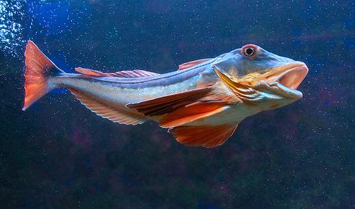 细鳞绿鳍鱼,Luc Viatour拍摄