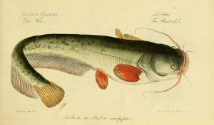 六须鲶鱼,生物多样性遗产图书馆(Biodiversity Heritage Library)拍摄