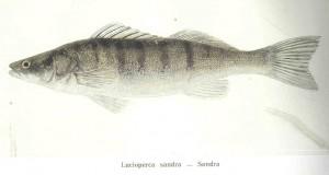 梭鲈,Freshwater and Marine Image Bank拍摄
