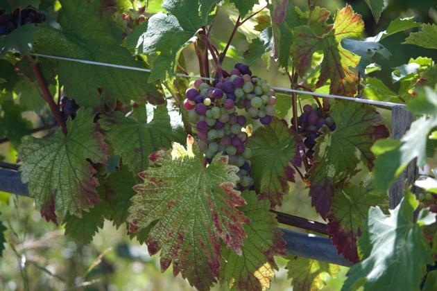 种植酿造红葡萄酒葡萄的葡萄园